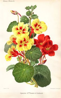 1883 Antique Botanical Print Capucines by AntiquePrintGallery