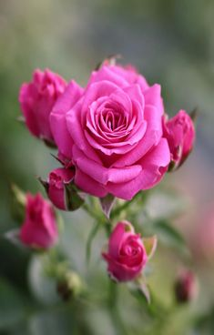 1750 Best Lovely Pink Roses Images In 2019 Beautiful Flowers