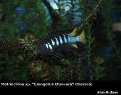 Imagini pentru elongatus chewere Malawi Cichlids, African Cichlids, Underwater Life, Fresh Water, Fish Tanks, Aquariums, Animals, Image, Animales