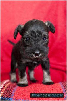 Freda Miniature Schnauzer by The Dog Snapper
