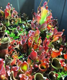Heliamphora minor field... Good luck out there!!!  Happy Friday…