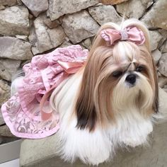 """Exceptional """"shih tzu"""" information is readily available on our website. Chien Shih Tzu, Perro Shih Tzu, Shih Tzu Puppy, Shih Tzus, Shitzu Puppies, English Bulldog Puppies, Cute Dogs And Puppies, Doggies, Yorkshire Terrier"""
