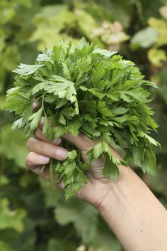 Parsley Harvesting: Learn How And When To Pick Parsley Herbs - Parsley is a must have for an herb garden. The question is, when do you pick parsley and exactly where do you cut parsley Organic Gardening, Gardening Tips, Urban Gardening, Flower Gardening, Indoor Gardening, Vegetable Gardening, Parsley Plant, Little Gardens, Small Gardens