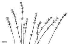 herb sprig black and white drawing - Google Search