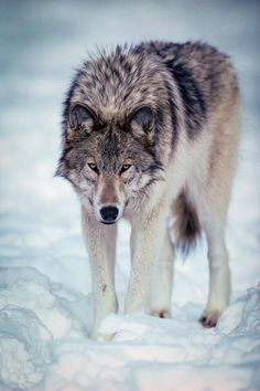 Portrait of a wolf | Why yes, my paws act as snow shoes! | Instinct Film | Flickr