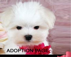 Teacup Puppies for sale dog Boutique for teacups, dogs for sale, Designer Dog Clothes and Teacup Yorkies Maltese Puppies For Sale, Tiny Puppies, Dogs For Sale, Chihuahua Puppies, Maltese Dogs, Funny Dogs, Cute Dogs, Adorable Puppies, Puppy Store