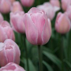 Tulipe+Triomphe+Rosalie