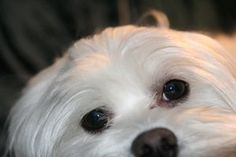 Tear stains are common in dogs, especially smaller breeds like the Maltese and shih tzu. Tiny tear ducts are most likely to blame for the stains that accumulate underneath their eyes. If your pooches have tear stains, there are many ways to clean them and Maltese Dogs, Dogs And Puppies, Dog Tear Stains, Puppy Images, Dog Eyes, Puppy Eyes, White Dogs, White Puppies, White Fur