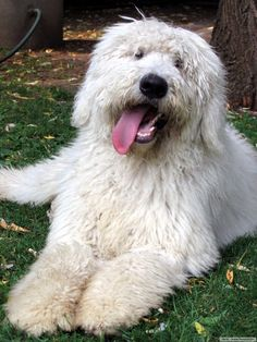 I will be getting a komondor puppy as soon as I'm done w/ college. No doubt.