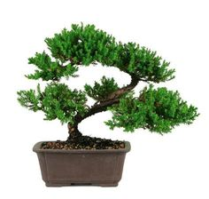 """The Green Mound Juniper Bonsai Tree from Nursery Tree Wholesalers is by far the most popular bonsai in the United States. When most people think of a """"bonsai tree"""", a picture of this beautiful bonsai"""