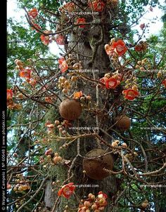 Tree trunk with flowers, Couroupita guianensis