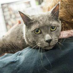 Adoptez /Adopt 1551 - Grisou (Mâle, né approx. en avril 2006 / Male, born approx. April 2006) #adoptable #cat #chat #montreal #verdunluv http://www.refugechatsverdun.com/chats_a_adopter.html#1551