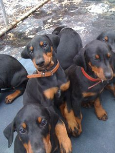 Doberman puppies from a previous litter adopted by Australian families www.pradadobes.com