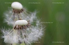Löwenzahn Pusteblume Frühling Insekten 1