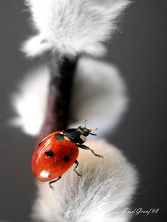 ladybug on pussy willow