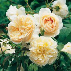 Lichfield Angel - David Austin Roses