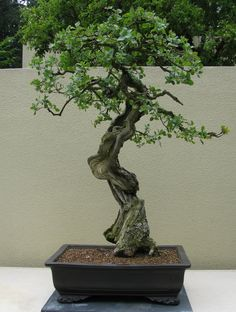 oak bonsai   One strip of living bark wrapped around the dead wood supports the ...