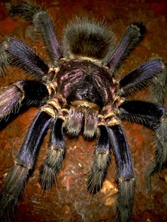 Common name: Haitian Brown. Alternative name big brown bitey thing! Cool Insects, Bugs And Insects, Pet Tarantula, Kinds Of Snakes, Itsy Bitsy Spider, Animal Tracks, A Bug's Life, Beautiful Bugs, Weird Creatures