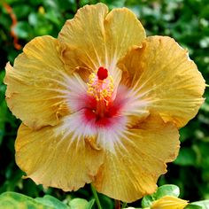 Exotic Hibiscus 'Fire Opal'