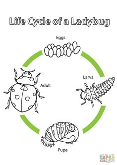 natur animals Life Cycle of a Ladybug coloring page from Biology category. Select from 20946 printable crafts of cartoons, nature, animals, Bible and many more. Montessori Science, Kindergarten Science, Teaching Science, Science For Kids, Science Activities, Sequencing Activities, Ladybug Coloring Page, Life Cycle Craft, Cycle Of Life