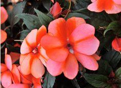 HGTV HOME Plants - Sugar Star™ Mandarin