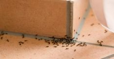 How to get rid of ants in the house? Home remedies for ants. How to remove ants from the house fast and naturally? Ways to kill ants. Stop ants infestation. Bug Control, Pest Control, Home Remedies For Ants, Natural Remedies For Ants, Ants In House, Black Ants, Get Rid Of Ants, Natural Solutions, Organic Gardening