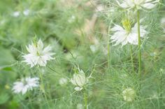 Černucha damašská, white flower, letnička.