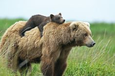 Momma Bear and baby bear : aww the Moms Bears Nature Animals, Animals And Pets, Animals In The Wild, Wildlife Nature, Large Animals, Cute Baby Animals, Funny Animals, Baby Pandas, Giant Pandas