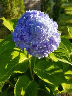 Easy Care for Beautiful Hydrangeas ~ Gwin Gal Inside and Out Hydrangea Care, Pink Hydrangea, Hydrangeas, Big Plants, Exotic Plants, Growing Flowers, Planting Flowers, Flower Gardening, Flower Garden Plans