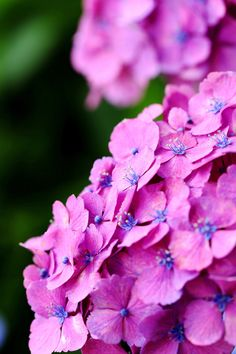 Hydrangea...One of my favorite flowers <3
