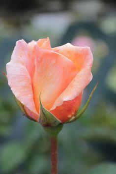 Foto de una rosa. Imagen representativa porque plasma la realidad tal cual es.
