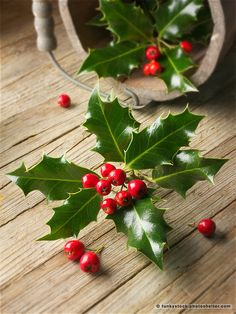 Holly leaves with red berries - Ilex aquifolium Christmas Leaves, Christmas Plants, Christmas Mood, Holiday Tree, Christmas Design, Xmas Tree, Holly Plant, Holly Leaf, Holly Berries