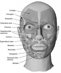 Medical Transcription: Facial muscles