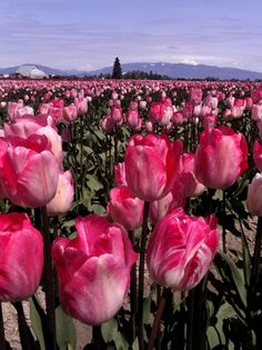 Skagit Valley Tulips Vertical Oh how I would love to see this in real life! Amazing Flowers, Pretty In Pink, Beautiful Flowers, Beautiful Pictures, Tulip Fields, Red Tulips, Flower Quotes, Daffodils, Tulips Garden