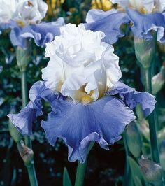 Iris 'Tall Cool One' | Tall Bearded.