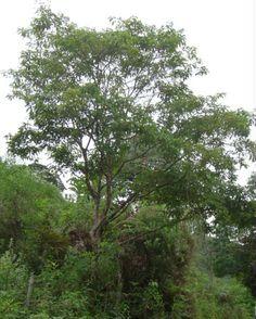 Guabiroba arborea - Campomanesia guaviroba Criticamente ameaçada de extinção no RS, melífera e atrativa à fauna.