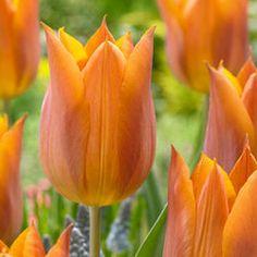 Tulip Request - Parkers Wholesale