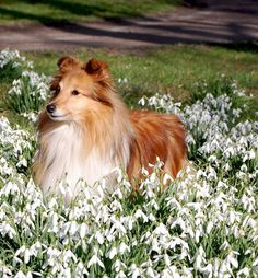 Sheltie in the flowers