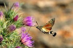 Hummingbird Hawk-moth by Carlos González Revelles on 500px