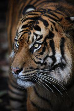 Sumatran Tiger by Gemma Ortlipp