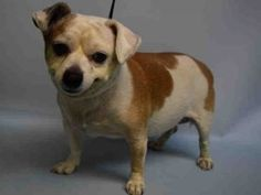 SAFE ♡ MARIO – A1109383  MALE, BROWN / WHITE, CHIHUAHUA SH MIX, 8 yrs STRAY – ONHOLDAVAI, HOLD FOR OWNER DIED Reason OWNER DIED Intake condition EXAM REQ Intake Date 04/19/2017, From NY 11212, DueOut Date 04/22/2017, I came in with Group/Litter #K17-094482.
