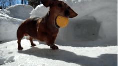 Playing Hockey With Tiny Dachshunds Is The Best Way To Spend A Snow Day