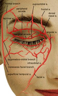 In this image, you may find Face Blood Supplement. Eye Anatomy, Facial Anatomy, Human Body Anatomy, Human Anatomy And Physiology, Muscle Anatomy, Skull Anatomy, Facial Fillers, Facial Aesthetics, Medical Anatomy