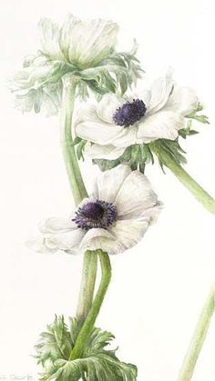 Learn botanical art from Elaine Searle, award-winning artist and tutor. I offer online tuition, workshops and botanical art holidays. Botany Illustration, Illustration Botanique, Floral Illustrations, Vintage Botanical Prints, Botanical Drawings, Botanical Flowers, Botanical Art, Art Floral, Sky Art
