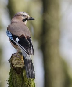 Jay Bird  by Ann  Burns , via 500px