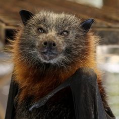 flying fox bat has a wingspan of nearly Creatures Of The Night, All Gods Creatures, Beautiful Creatures, Animals Beautiful, Bat Species, Funny Animals, Cute Animals, Mysterious Universe, Baby Animals