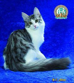25 Best Beautiful Turkish Angora Cats Images On Pinterest