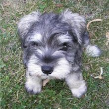 I love mini schnauzers =)   ...........click here to find out more     http://googydog.com