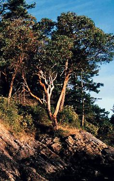 Arbutus trees.  Everything about these trees seems lovely.  I want to go see some someday.    http://www.for.gov.bc.ca/hfd/library/documents/treebook/arbutus.htm