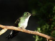Foto beija-flor-de-barriga-branca (Amazilia leucogaster) por Antonio Nobre | Wiki Aves - A Enciclopédia das Aves do Brasil